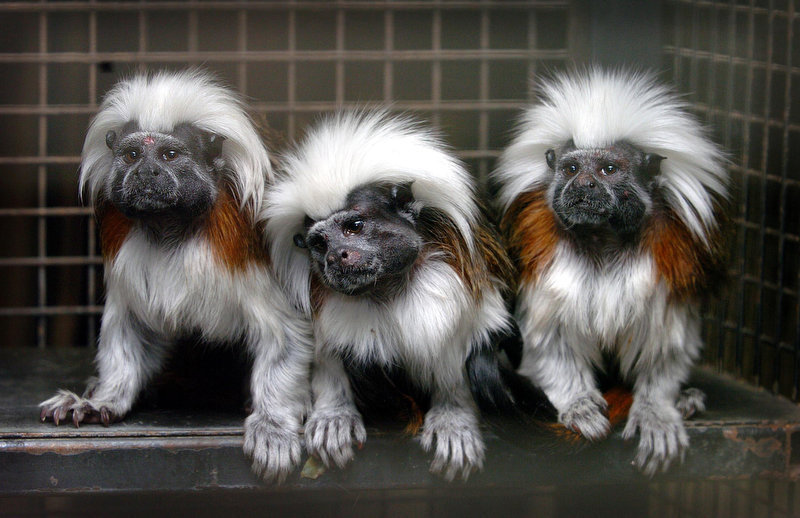 Description of . Cotton-Top Tamarin monkeys, from left: Rio, Baby and Pinkie are pictured back home at Drayton Manor Theme Park and Zoo in Tamworth, England, after being stolen in an overninght raid earlier in the week. The trio was recovered during police raids on 2 locations in the Erdington district of Birmingham, England, and are being assessed by keepers. (AP Photo/PA, David Jones)