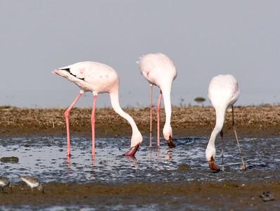 A 7 Flamingo