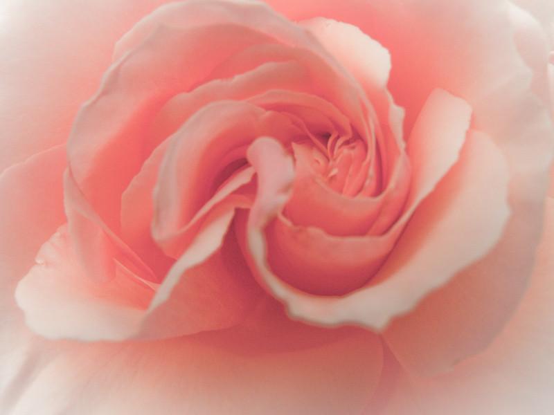 apr4_rose.jpg