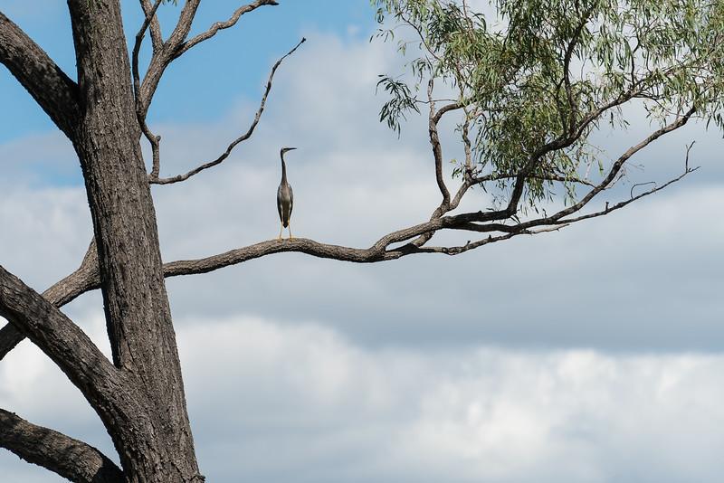 Grey Crane.jpg