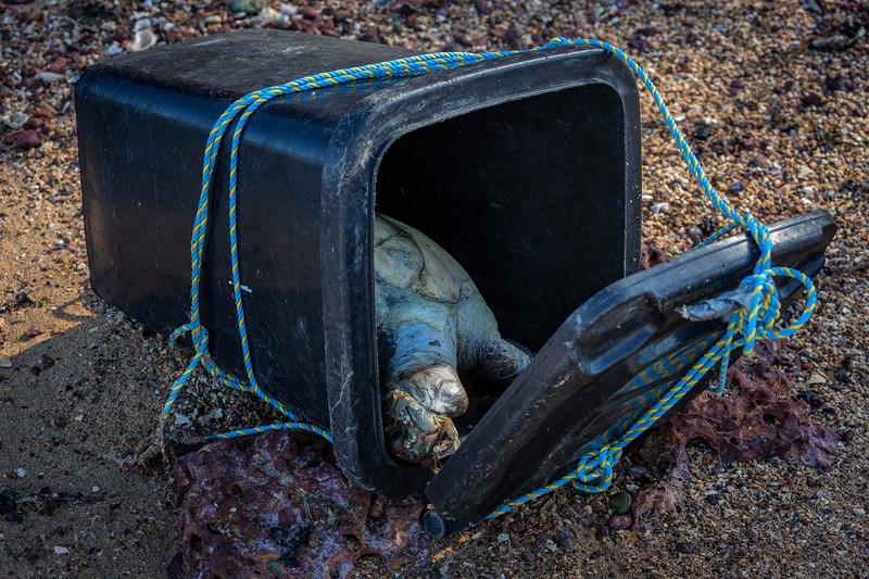 Turtle in Wheelie Bin, Redbank