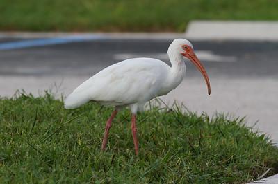 Storks & Ibises