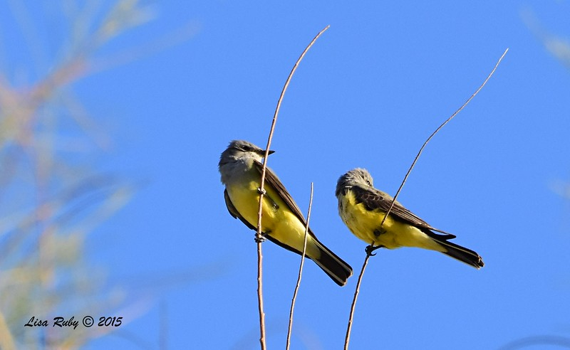 Western Kingbirds - 4/5/2015 - Agua Caliente campground