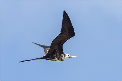 Miscellaneous Seabirds