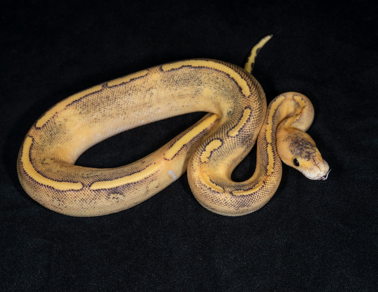 #2049, Female Champagne 66% possible Het Pied, $200