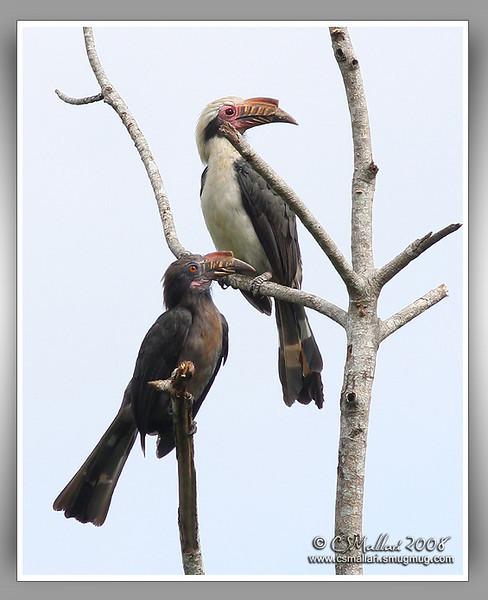 Hornbills - Family: Bucerotidae