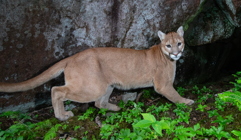Cougar Capture @ 7:44 am on July 24th, 2020