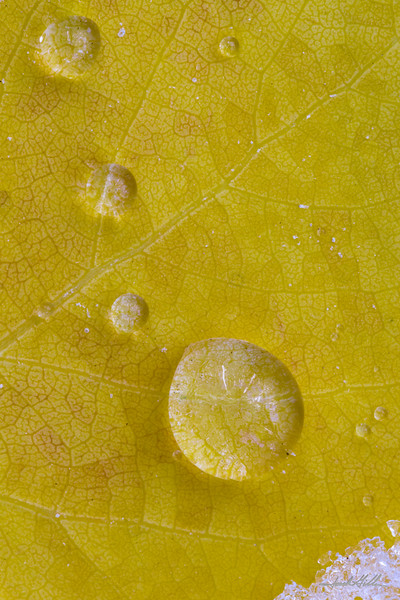 Frozen water drops on Aspen leaf