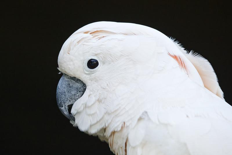 Salmon-crested cockatoo (captive)