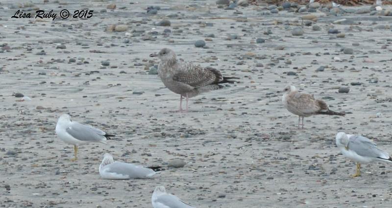 Western Gull and Mew Gull - 1/8/2016 - Del Mar east of Coast Hwy, south of Carmel Valley Rd