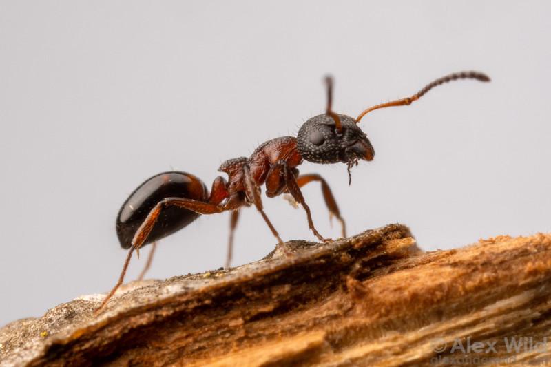 Dolichoderus plagiatus