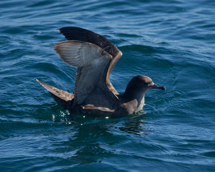 Short-Tailed  Shearwater  Orange County waters 2011 01 22-2.CR2