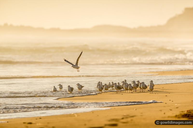 Yambuk Gulls