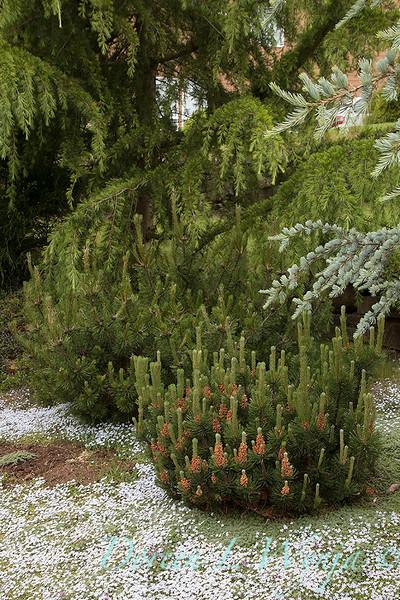 Pinus mugo 'Slowmound' - Isotoma fluviatilis Blue Star Creeper_3229.jpg