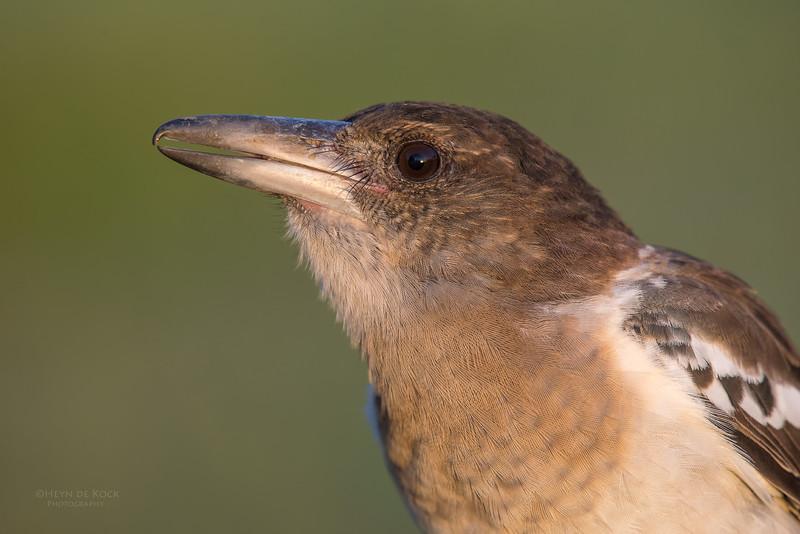 Pied Butcherbird, juv, Worongary, QLD, March 2016-6.jpg