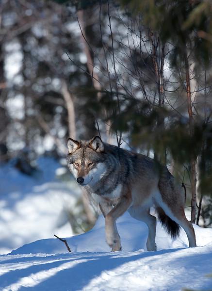 Wolf Norway 3.jpg
