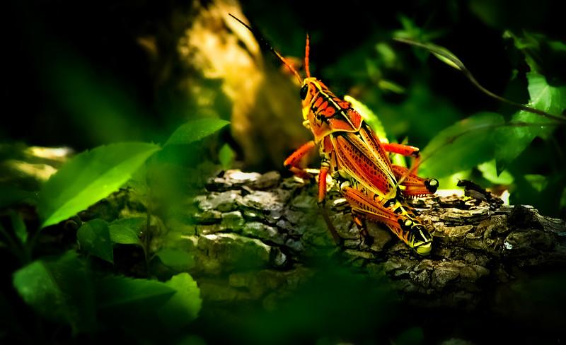 Grasshoppers 104.jpg