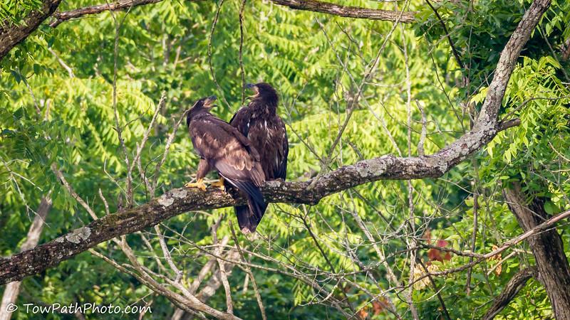 Bald Eagle (Juv)