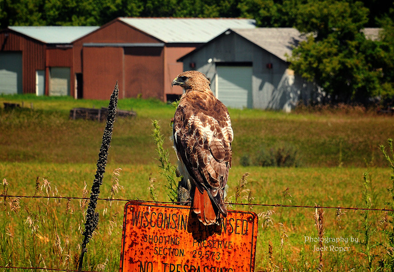 012 RED TAIL HAWK-Roper  _9349.jpg