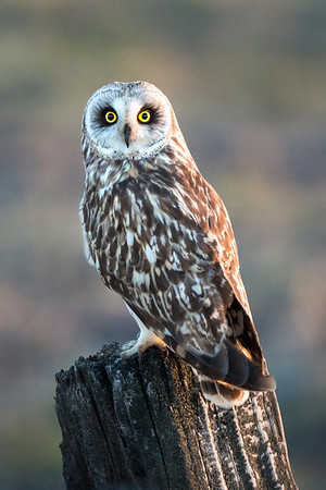Sierra Valley Owl