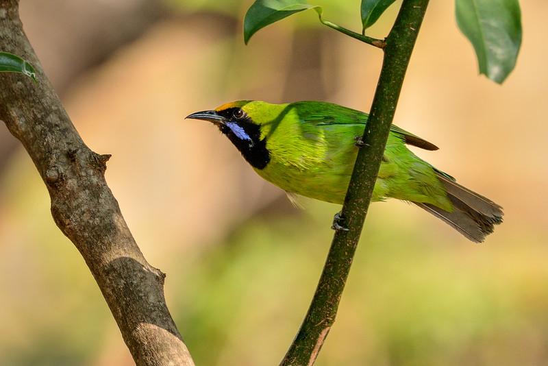 Golden-fronted-leafbird.jpg