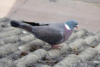 Other birds UK