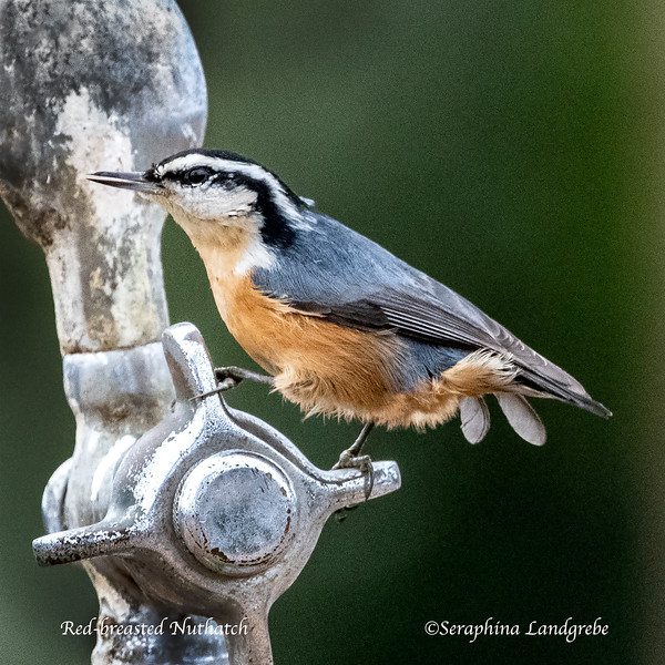 _DSC6112Red-breasted Nuthatch.jpg
