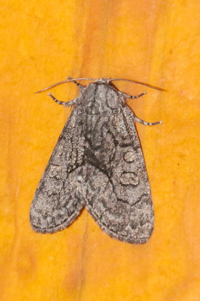 Brother-The-(Raphia frater frater)- Dunning Lake - Itasca County, MN