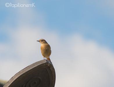Daurian Redstart [Phoenicurus auroreus]