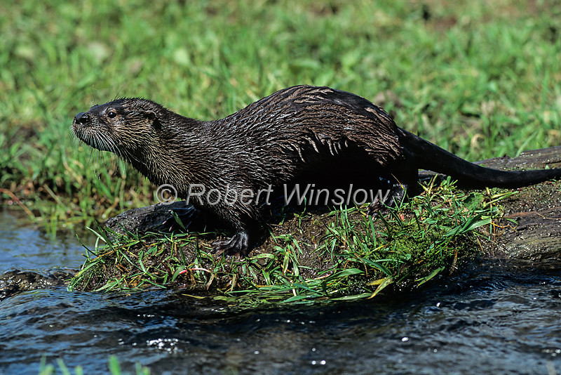 Otter - North American River
