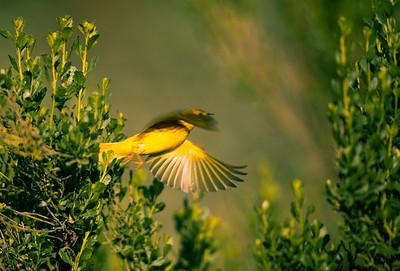 Yellow Warbler (<em>Dendroica petechia</em>)