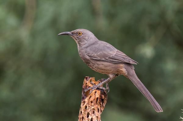 Mockingbirds, Thrashers, Starlings, Mynas