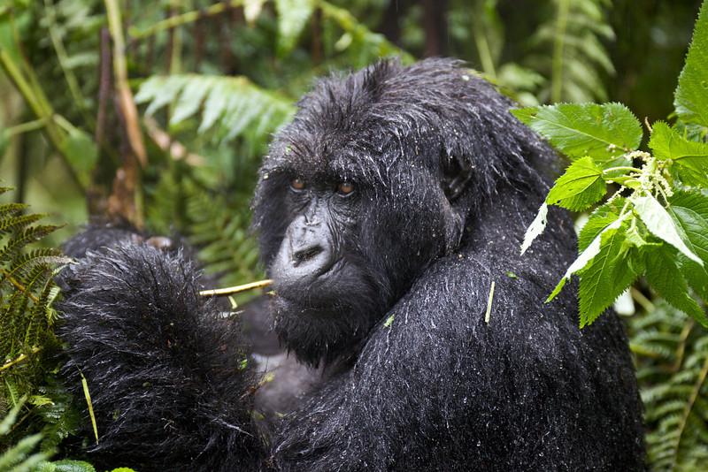 Gorillas  8404.jpg