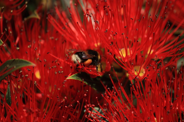 Bumble bee on New Zealand Rata