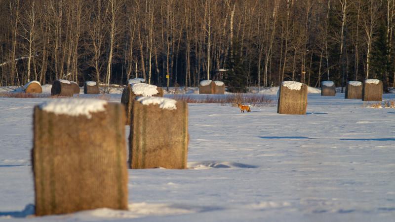 Red Fox on snow haybales CR229-29 Sax-Zim Bog MN IMG_0109.jpg