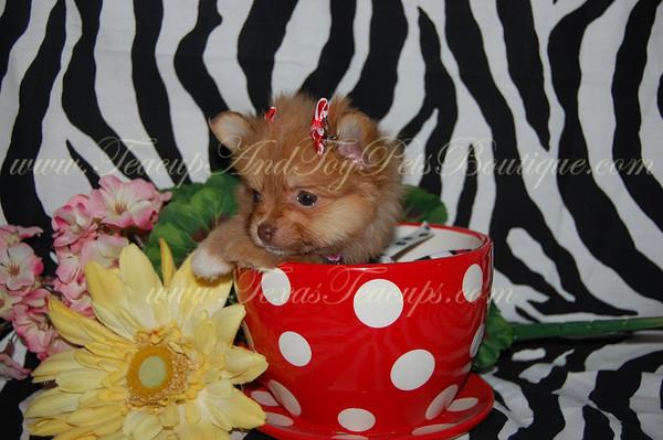 Pomeranian PUPPY # 2245 Sold to Kiet Vo