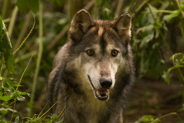 Wolf_Sanctuary_of_PA - September