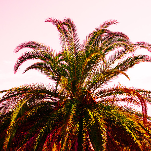 Palm Pink Sky II
