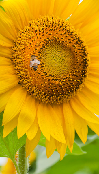 Sunflowers-8.jpg