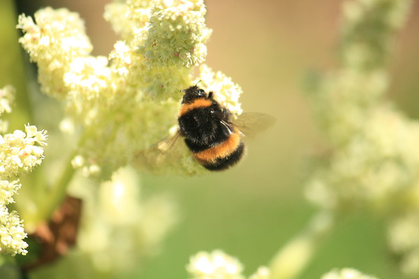 Bumble Bee on Rhubarb in New Zealand