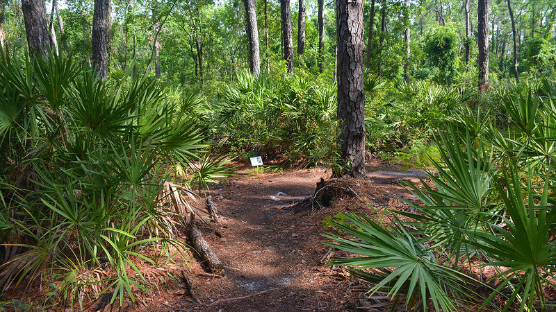 Footpath edged by saw palmetto