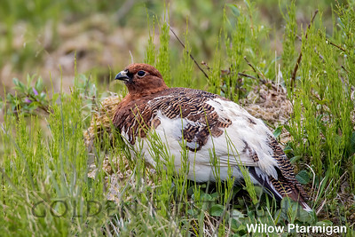 Willow Ptarmigan, Nome AK, USA