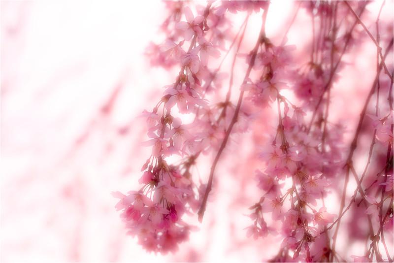 20120323_Hanami_11.jpg