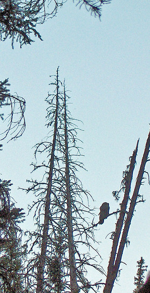 Great gray owl. Taken on an evening trek with Dan Hartman to find the great gray with three fledglings. Contributed by Linda Seaman