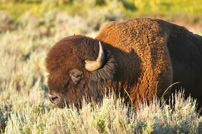 Buffalo bull, Lamar Valley, Yellowstone National Park