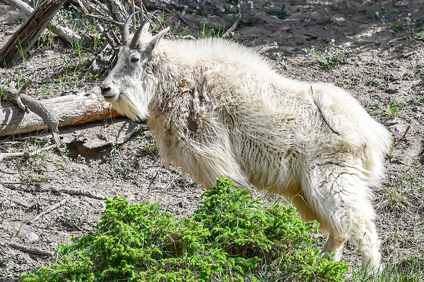 6-3-19 Mountain Goat - Jasper Ab