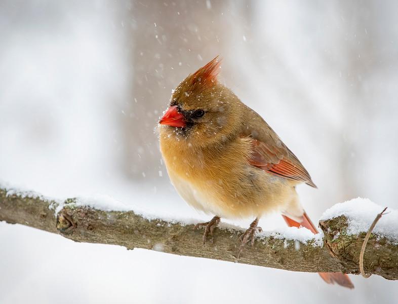SnowyCardinal_03.jpg