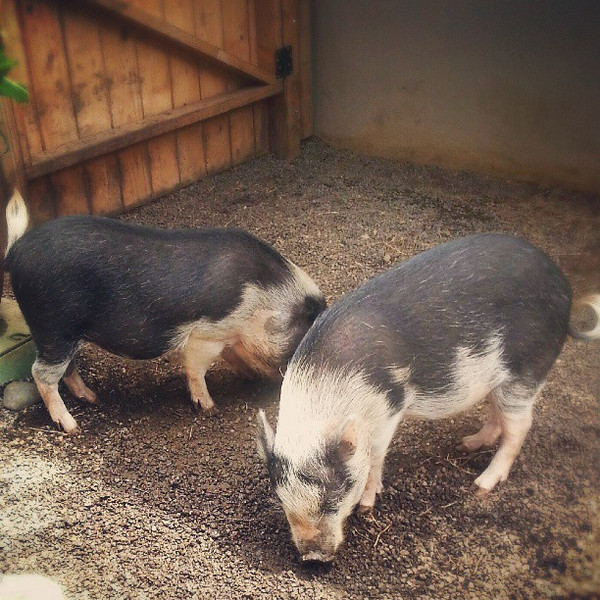 Just_met_loco_and_moco__these_cute_pigs_are_pets_and_won_t_be_eaten._The_names_are_a_play_on_a_traditional_Hawaiian_breakfast_called_loco_moco_which_is_white_rice_topped_with_a_hamburger_patty__fried_egg_and_gravy._Sometimes_it_also_has_a_bunch_of_ot.jpg