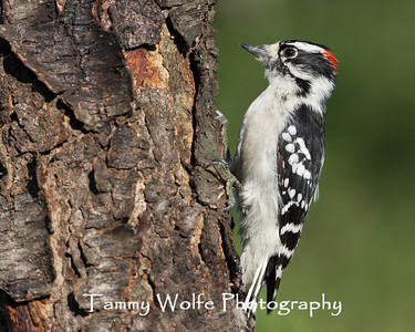 Woodpecker, Downy