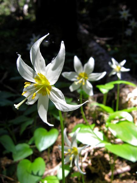 Avalanche Lilies, Erythronium montanum